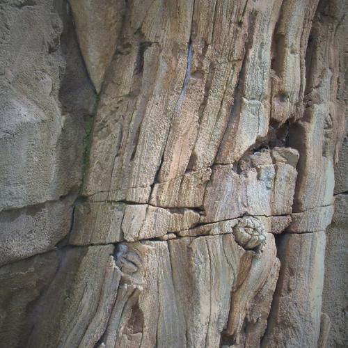 catégorie(s) :  - Arbre fossil